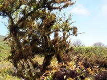用在Cuando la Roca火山,圣克鲁斯,加拉帕戈斯,厄瓜多尔的火山口的地衣盖的树 免版税库存照片