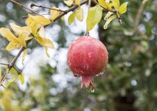 用在Savelletri二法萨诺,意大利的雨珠盖的柿子的特写镜头视图 免版税库存图片