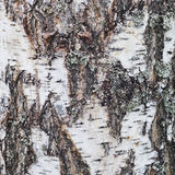 用地衣盖的老桦树吠声纹理  免版税图库摄影