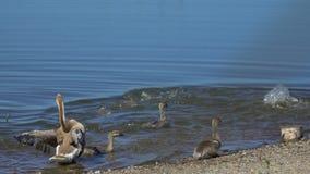 用小婴孩幼鹅自由地走在动物大农场的关心的鹅 逗人喜爱的在农厂湖的家畜愉快的伯德家族 股票视频