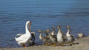 用小婴孩幼鹅自由地走在动物大农场的关心的鹅 逗人喜爱的在农厂湖的家畜愉快的伯德家族 股票录像