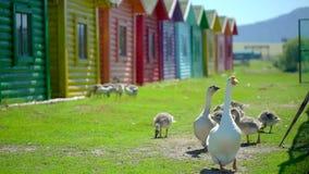 用小婴孩幼鹅自由地走在动物大农场的关心的鹅 逗人喜爱的愉快的在农场的家畜愉快的伯德家族 股票视频