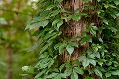 用常春藤叶子充分地包括的结构树 免版税图库摄影