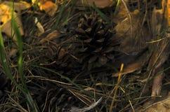 用干燥杉木针和锥体报道的地面的特写镜头宏观秋天视图 免版税图库摄影