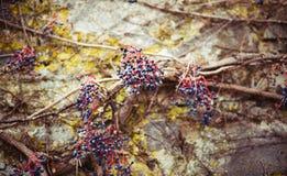 用干燥葡萄盖的一个老石墙 库存照片