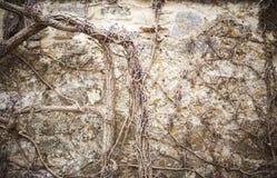 用干燥葡萄盖的一个老石墙 免版税库存照片