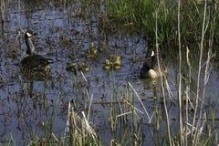 用幼鹅游泳在沼泽的Cananda鹅 免版税库存照片