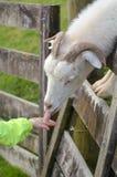 用手喂的孩子白色男性山羊食物 免版税库存照片