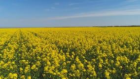用明亮的黄色花报道的大领域美丽的景色反对天空蔚蓝在温暖的夏日 ?? 免版税图库摄影