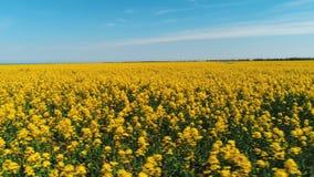 用明亮的黄色花报道的大领域美丽的景色反对天空蔚蓝在温暖的夏日 ?? 免版税库存照片