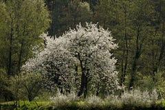 用木材建造的开花樱桃德国半房子 免版税库存照片