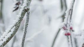 用树冰和雪盖的花楸浆果,平底锅运动 股票视频