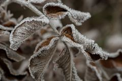 用树冰宏指令盖的罗斯叶子 图库摄影