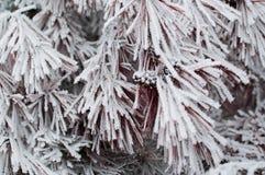 用树冰报道的云杉的分支的特写镜头美丽的照片 免版税库存照片
