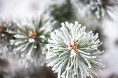 用树冰报道的具球果分支 免版税库存图片