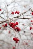 用树冰报道的野玫瑰果分支。 免版税库存图片