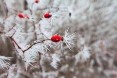 用树冰报道的野玫瑰果分支 库存图片