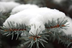 用树冰报道的针叶树分支 库存照片