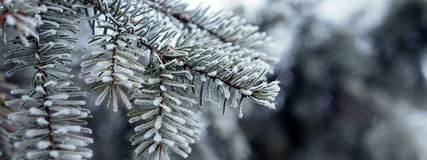 用树冰水晶报道的杉木分支 免版税库存图片