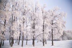 用树冰盖的桦树在冷淡的冬天早晨 免版税库存图片