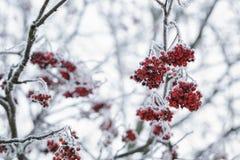 用树冰盖的花楸浆果冬天早晨 库存照片