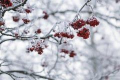 用树冰盖的花楸浆果冬天早晨 库存图片