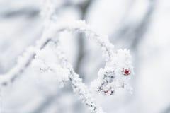用树冰盖的花楸浆果冬天早晨 免版税库存照片