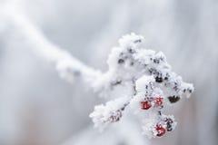 用树冰盖的花楸浆果冬天早晨 图库摄影