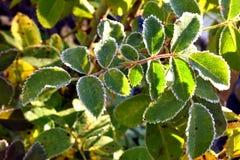 用树冰盖的草莓绿色叶子 免版税图库摄影