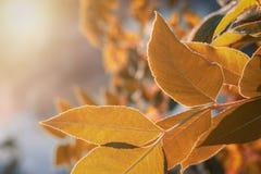 用树冰盖的黄色叶子在一个晴朗的早晨 免版税库存图片