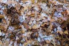 用树冰盖的冻橡木叶子 免版税库存图片