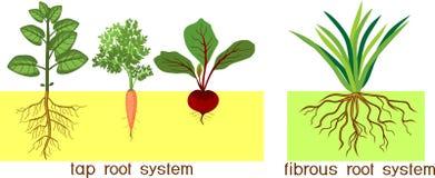 用根系统的不同的类型的植物:轻拍和纤维根系统 库存例证