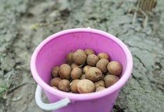 用桶提用在被犁的领域背景的土豆  未来收获的最佳的成绩 免版税库存照片