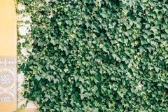 用植物和许多叶子盖的墙壁 免版税库存照片