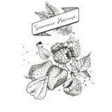 用横幅夏天收获装饰的传染媒介套,蕨离开并且弄脏 草莓和rasbberry 向量例证
