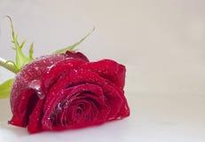 用水滴盖的一朵红色玫瑰  库存图片