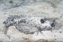 用沙子盖的有毒多刺的章鱼 免版税库存照片