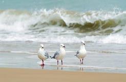 用浆划在海滩水边缘的三只海鸟  免版税库存图片