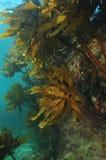 用海带盖的大岩石 免版税库存照片