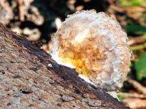 用湿气盖的木头朽烂真菌 免版税库存照片