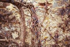用烘干狂放的葡萄盖的一个老石墙 图库摄影