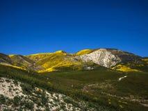 用狂放的黄色花开花的领域盖的山 库存图片