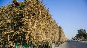 用甘蔗装载的许多拖拉机 图库摄影