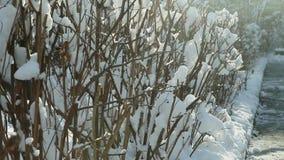 用白色雪盖的低灌木 股票视频