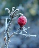 用白色霜盖的红色野玫瑰果 库存图片