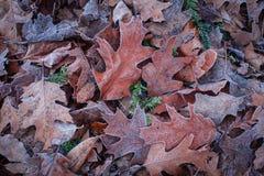 用白色霜盖的美丽的秋天橡木叶子 库存图片