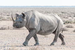 用白色calcrete尘土盖的黑犀牛,走 库存照片