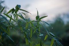 用看法的小滴关闭盖的冻竹分支叶子 免版税库存照片