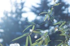 用看法的雪关闭盖的冻竹分支叶子 免版税库存图片