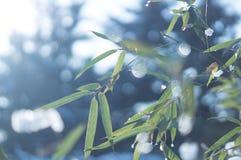 用看法的雪关闭盖的冻竹分支叶子 免版税库存照片